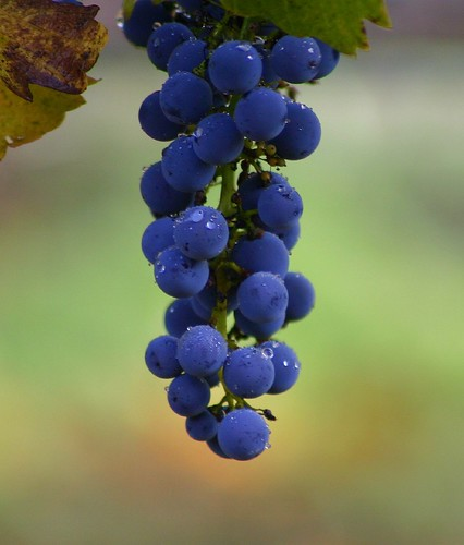 The Grapes that Wine is Made From