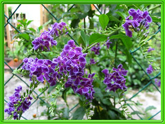 Duranta Repens/Erecta 'Sweet Memories' at our backyard, captured October 13, 2007