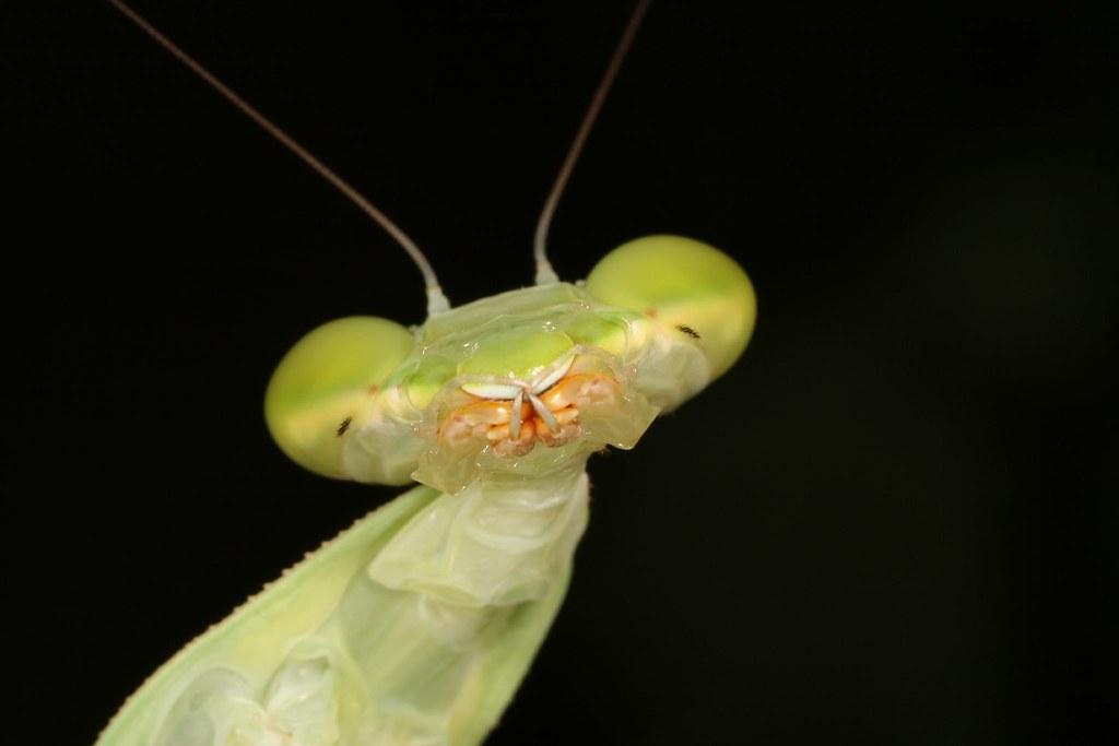 Giant Mantis For Sale Giant Asian Mantis Female 1:1