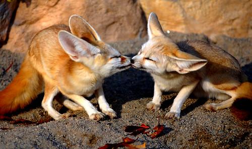 Kissing fennec fox 狐のキス