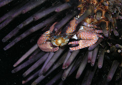 Liopetrolisthes mitra, a symbiotic porcelain crab from Chile (Arthur Anker) Tags: chile sea macro nature marine pacific crab crabs intertidal urchin porcelain crustacea crustaceans symbiosis decapoda echinoidea anomura porcellanidae