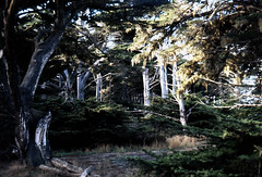 California Thicket (azgulch) Tags: santabarbara natural liveoaks naturepeople beforedevelopment swallowtailsite