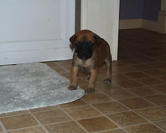 Mastiff Puppy (Born 2/4/2007) (muslovedogs) Tags: dogs puppy mastiff excalibur myladyoffspring
