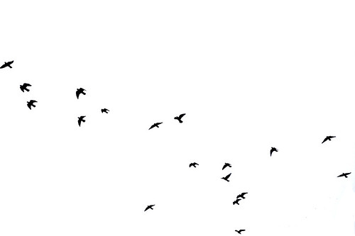 pictures of birds flying