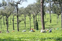 IMG_4255 (HAKANU) Tags: plants india mountains geotagged tea kerala westernghats munnar teaplants teaplantations teapicker pickingtea teapicking thewesternghats