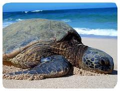 turtle (tigapics collective) Tags: streetart beach graffiti hawaii turtle freeart tigapics