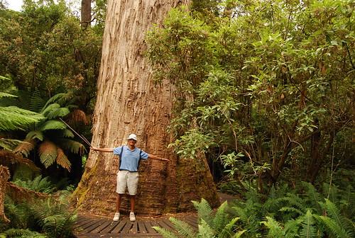 Ten Thousand Trees Tallest White Gum Tree Tasmania