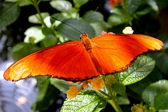 Orange butterfly (jamos_57) Tags: orange macro nature butterfly impressedbeauty top20butterflies top20everlasting coloursplosion goldstaraward
