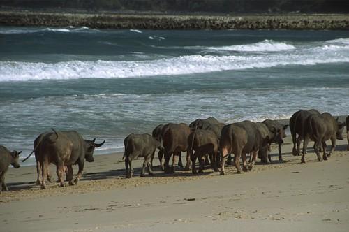 Sumba (Indonesia) - Buffalo on the beach