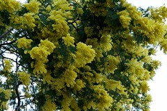 Mimosas 45 (Chilaout-Photos) Tags: france plantes mimosas tanneron