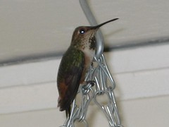 Hummingbird - close up (balek007) Tags: hummingbird