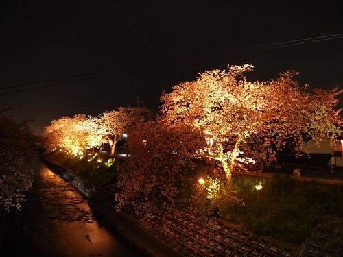 高田川(夜桜)-05