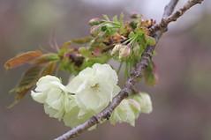 Prunus lannesiana Wils. 'Gioiko' (Nam2@7676) Tags: japan dof pentax bokeh   nam2 silkypix   kmount 7676 fa77 k20d smcpfa77mmf18 justpentax smcfa77mm118limited nam2at7676 yasunarinakamura  nam27676