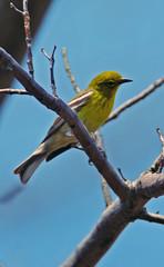 Pine Warbler (R Hanson) Tags: ontario bird birding birdwatching pinewarbler birdwatcher naturesfinest dendroicapinus setophagapinus