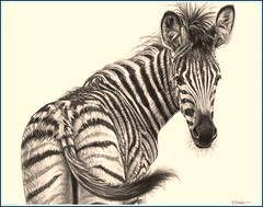 'Young Zebra' - Zebra - Fine Art Pencil Drawings  www.drawntonature.co.uk (kjhayler) Tags: pictures wild horses blackandwhite horse baby art animal animals drawing african contemporary stripes wildlife young picture drawings naturalhistory zebra savannah plains serengeti wildhorses kruger zebras animalart wildanimals foal foals animalprints pencildrawings wildlifeimages drawingpictures animalpictures wildlifeart africanwildlife africananimals zebraprint burchellszebra wildlifephotography wildlifephotos animalphotos animaldrawings wildlifeartists commonzebra naturepictures zebrapattern babyzebra babyzebras plainsanimals wildlifeportraits wildpictures thezebra zebraphotos animalspictures openedition wildlifeartist wildlifedrawings drawingphotographs kevinhayler zebrapicture zebraspictures zebrapictures picturesofzebras pictureszebras picturezebra photosofzebras animalszebras zebradrawing zebraphoto photozebra zebraimage zebraimages photoszebras youngzebras