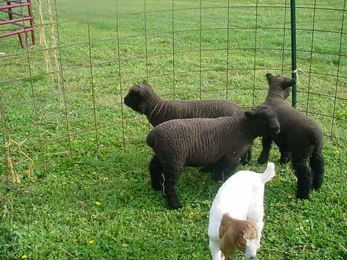 Old English Southdown Lambs (and baby goat)