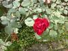 96.11.16竹崎鄉光華村茄苳風景區內的茄苳老樹DSCN3292