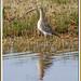 Zarapito real 04- Becut - Eurasian curlew - Numenius arquata
