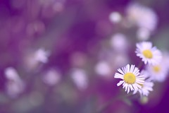 *** (*setsuna) Tags: wallpaper white flower macro nature yellow canon purple bokeh sigma theperfectphotographer 5mikesep