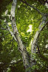 (adventurediva) Tags: tree green leaves spring branches myfrontyard