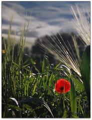 tuscany on my mind (beesquare) Tags: morning italy nature grass dawn early perfect warm italia sunny hills tuscany poppy pienza toscana valdorcia terrapille