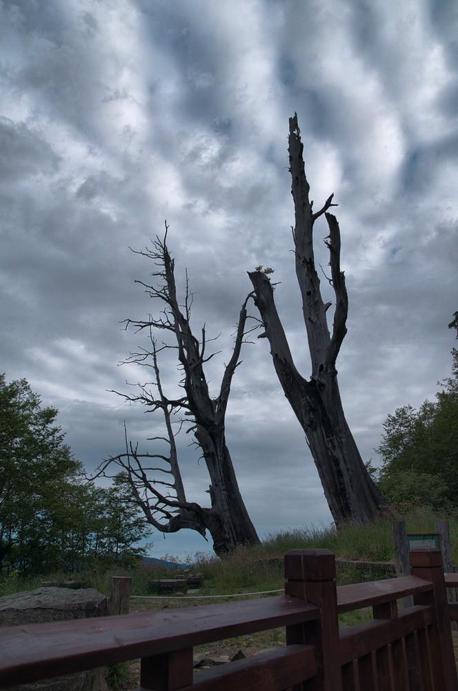 玉山塔塔加夫妻樹初體驗