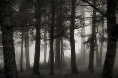 Un bosc i una mica de boira (Ferran.) Tags: wood tree fog catalonia arbres bosque sant antoni bosc ripolles boira ribes boires freser