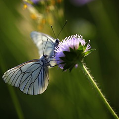 why did the butterfly? (jenny downing) Tags: light two hairy distortion blur france flower green nature lines closeup butterfly spring blurry stem weed purple fuzzy bokeh pair meadow fluffy windy insects blurred sharing translucent sunlit breeze winged sup antennae springtime proboscis velvety scabious gust flutter infrance jennypics takeninfrance takeninspring jennydowning soocapartfromacrop gettyimagesfranceq2 whydidthebutterflyflutterby gettyfrancesummer photobyjennydowning