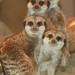 Aquar.meerkats four (2)