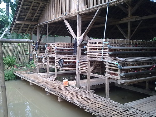 Budidaya ternak ayam ras petelur Ayam yang pertama masuk dan mulai