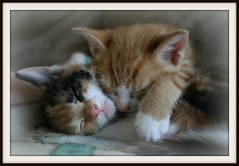 Kittens (Fjola Dogg) Tags: life sleeping pet cats nature animal animals sisters cat chats chat please  group kittens rules 100v10f read the cc300 doublebeauty kittenmagazine bestofcats platinumphoto impressedbeauty platinumheartaward camfoct07 fjoladogg 100commentgroup