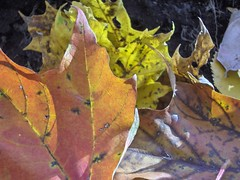 HPIM6753.JPG (dithie) Tags: autumn trees orange fall leaves yellow forest montreal montroyal mountroyal warmcolors warmcolours