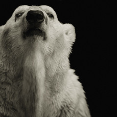 Ursus maritimus (zeissizm) Tags: bear bw 20d monochrome animal eos polar vita ursus maritimus 70200mmf4is