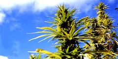 Marihuana017 (foto.mjuana) Tags: marihuana mjuana