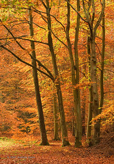 Rishbeth Wood dressed up for Autumn (. Andrew Dunn .) Tags: wood uk autumn trees england tree leaves forest landscape suffolk 9 autumnleaves beech thetford eastanglia beechtree thetfordforest europeanbeech fagussylvatica autumncolour interestingness202 i500 challengeyouwinner cyniner aplusphoto rishbethwood