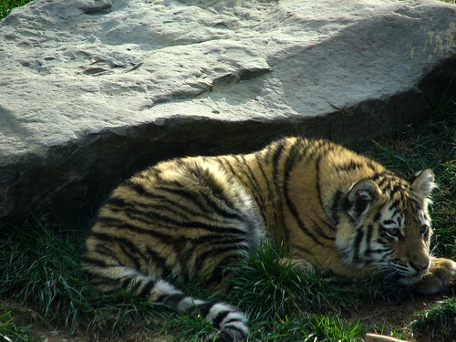 One Sad Tiger - flickr/zeandroid
