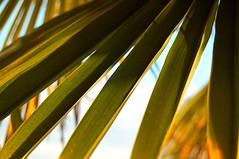 Golden hued fronds (DeniseJC) Tags: green yellow northvancouver fronds lowsun palmleaf dunderave irresistiblebeauty theperfectphotographer