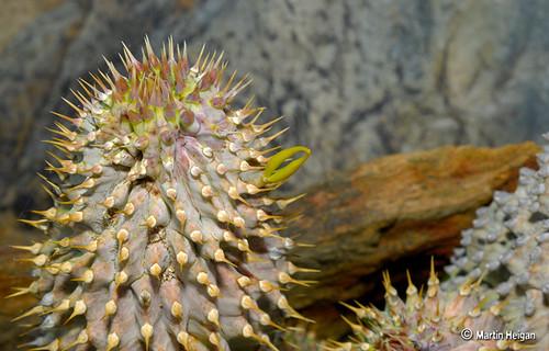 Hoodia alstonii seedpod