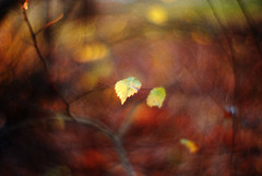 an expanding universe (futureancient) Tags: trees leaves 50mm woods bokeh rangefinder autumncolours autumncolors dreamy canonf095 leicam8 bokehpainting futureancient whycantweallspellcoloursthesameway bokehimpressionism wealliveinanexpandinguniverse