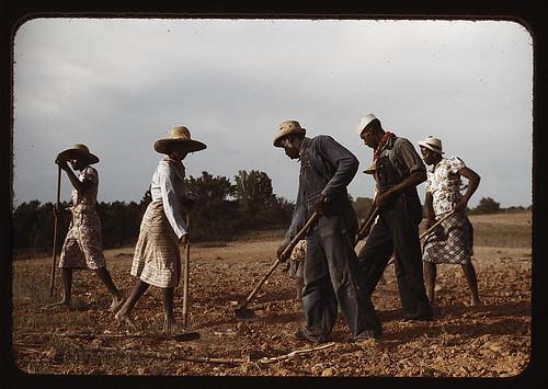 Chopping cotton on rented land, near White Plains, Greene County, Ga. (LOC)
