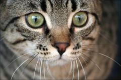qu? mirar gato (*BLULU) Tags: cat chat gato mirar gatto micio licenzaattribuzionenoncommerciale
