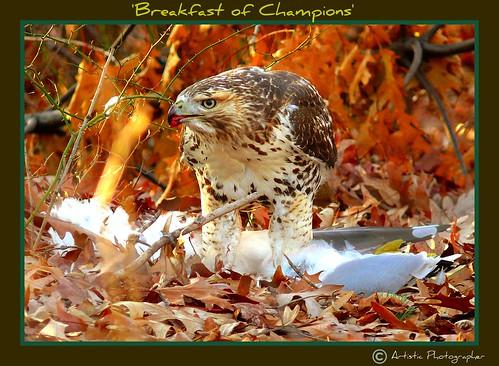 Juvenile Redtail Hawk vs Seagull 8