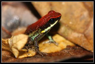 Ecuadorian Poison Frog (Ameerega bilinguis) formerly (Epipedobates bilinguis)