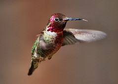 Humming Bird #4 4-01-08 [Explore] (BluAlien) Tags: life california wild bird nature animal fauna flying inflight nikon hummingbird wildlife hummer humming annashummingbird calypteanna d40 chupaflor californiawildlife chuparosa 70300mmvr natureoutpost