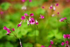 HBW! (-Cortni Marie-) Tags: pink flowers light color green nature wednesday outside natural cloudy bokeh earth tiny clovers hbw orpurple madebygod