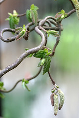Corylus avellana (Craft & Creativity) Tags: garden hazel corylus avellana