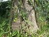 96.11.16竹崎鄉光華村茄苳風景區內的茄苳老樹DSCN3210