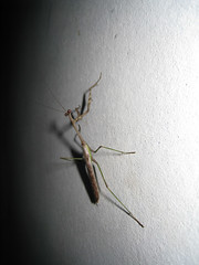 IMG_1523 (Tehhen) Tags: animals night dominicanrepublic insects prayingmantis repblicadominicana clavellina dajabn