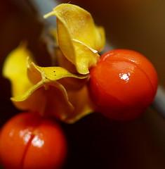 orange 97 (guy demaupassant rabinowitz) Tags: food orange plant bird fruit vine bittersweet dioecious celastrus supershot scandens goldstaraward dehissant
