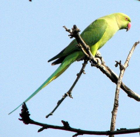 Rose-Ringed Parakeet, Surajkund281007